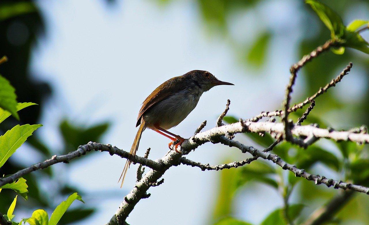 female tailor-bird, wild, bird