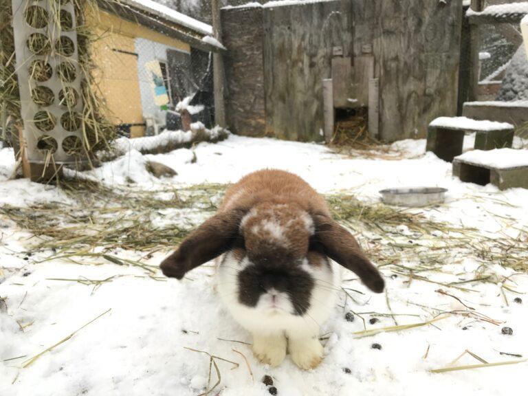 stallyckan_kanin